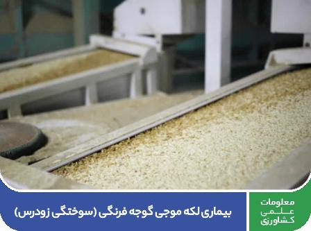 https://agrinito.com/فرآوری برنج (مراحل پس از برداشت)