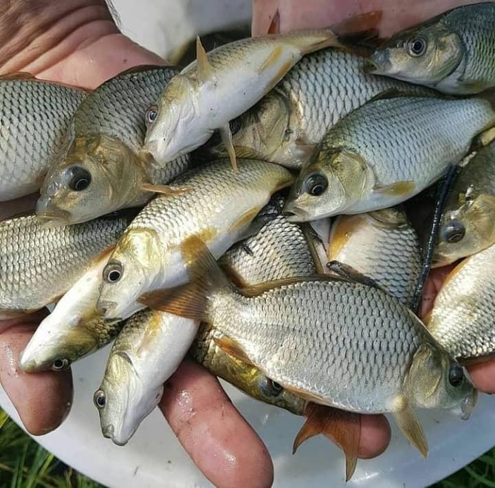 بچه ماهی آمور