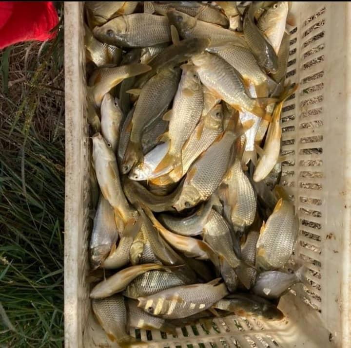 بچه ماهی کپور سه بند انگشتی
