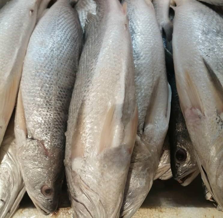 ماهی شوریده ی عمانی
